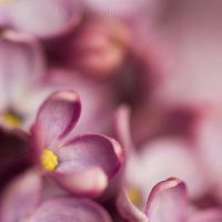 Lilas by Somebody--else