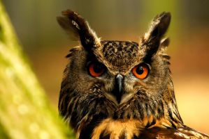 Eagle Owl - I See You by Shadow-and-Flame-86