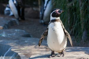 Humboldt Penguin, Amneville zoo by BKcore
