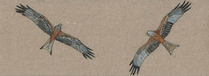 Red kite small picture by Kutchicetus-Minimus