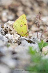Colias hyale by LInconnu24