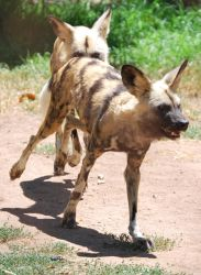 African Wild Dog Stock 1 by HymnsStock