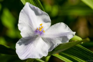 Spiderwort II by cshake