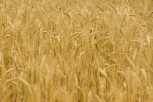 Rye Field 16234925 by StockProject1