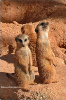 029- Meerkats by SilkenWinds
