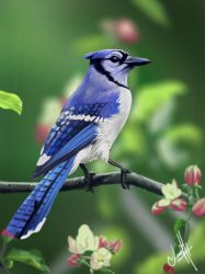 2018_22 Blue Jay (Color study) by JonathanL96