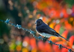 Black Phoebe by DeniseSoden