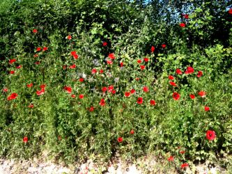May Papaver Rhoeas by Luxia25