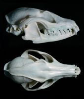 Gray Fox Skull Multiangle by nikkiburr