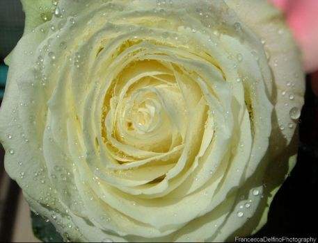 Delicate White Rose (Color Version) by FrancescaDelfino