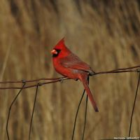 Our Neighbor bird. The Northern Cardinal. by PhotographerAlexC