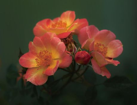 Roses In Mist by aquapell