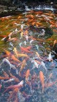 Koi Fish by THackpro