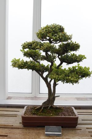 Bonsai Tree 3 by CastleGraphics