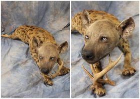 Hyena (3) by WeirdCityTaxidermy