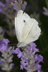 Cabbage White by BlackRoomPhoto