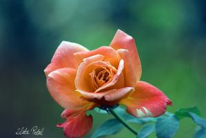 single rose by Zlata-Petal
