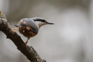 Eurasian Nuthatch by HammerPhotography