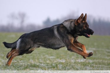 German Shepherd Dog by lovable-moments