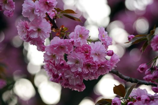 Japanese Cherry by bellapester