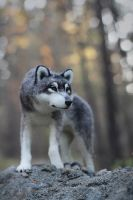 The wolf [felted toy] by Irentoys