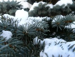 White: The Conifer by NicolasDominique