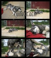 Fune-stock_Dog_pack2 by Fune-Stock
