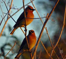 A Pair Of Waxwings by wolfwings1