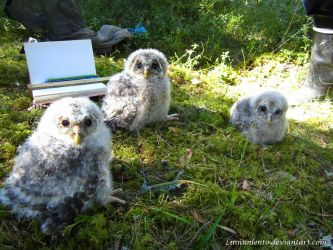 Ural owl babies by Linnunlento