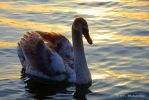 young swan in romantic evening light by MT-Photografien