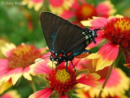 Great Purple Hairstreak by gregner