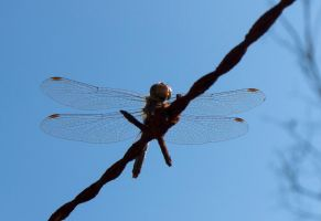 Dragonfly by Marno78