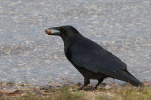 Crow with Nut 01 Stock by lokinststock