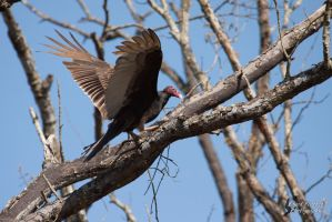 Turkey Vulture by EdgedFeather