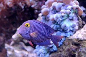 Spotted Surgeonfish by TheSleepyRabbit