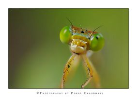 Damselfly by poraschaudhary