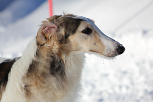 Borzoi profile by riipi