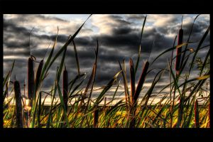 Reed in the evening light by stg123
