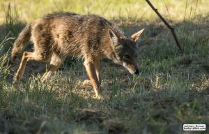 Coyote prowls by jaffa-tamarin