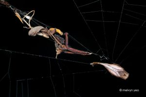 Scorpion-tailed spider by melvynyeo