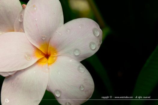 Droplets on Petals by aviatStudios