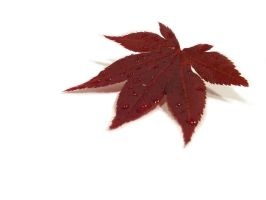 Japanese Maple Leaf by XResch