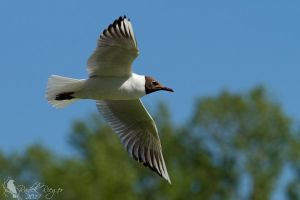 Black-headed gull (Chroicocephalus ridibundus) by PhotoDragonBird