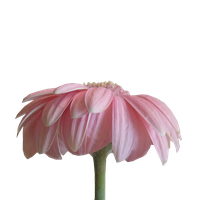 Pink Daisie png by M10tje