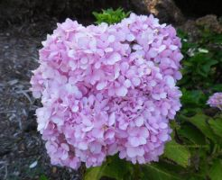 Boxy Hydrangeas by ShipperTrish