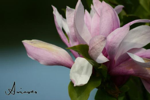 Magnolia by Ariaocs