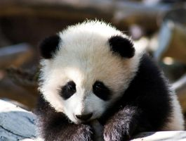Baby Panda... again by Roland3791