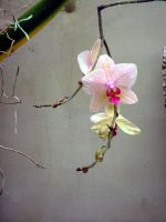 .stock: lone orchid. by guavon-stock