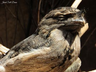 Tawny Frogmouth Fullbody by Soll-DenneGallery