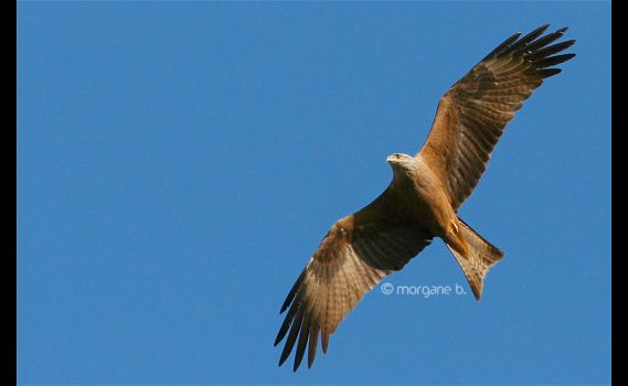 black kite III by moem-photography